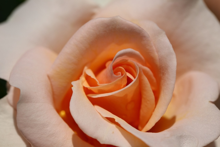 f-rose0512_0034f.jpg