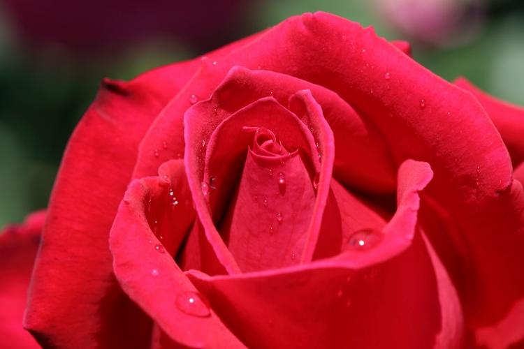 f-rose0512_0035f.jpg