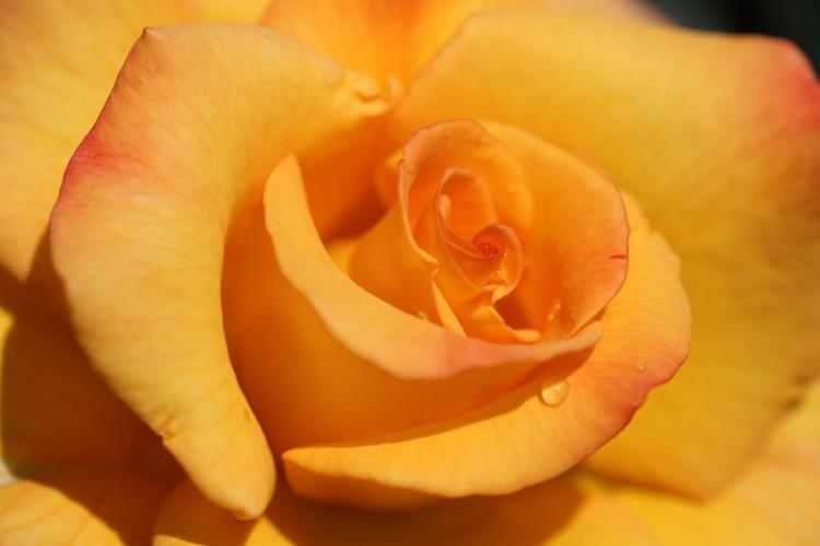 f-rose0512_0041f.jpg