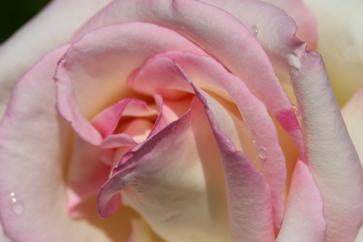 f-rose0512_0042f.jpg