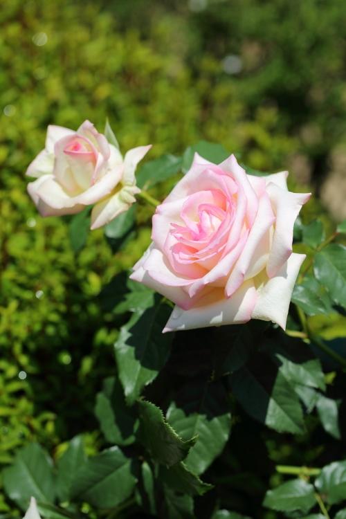 f-rose0512_0046f.jpg
