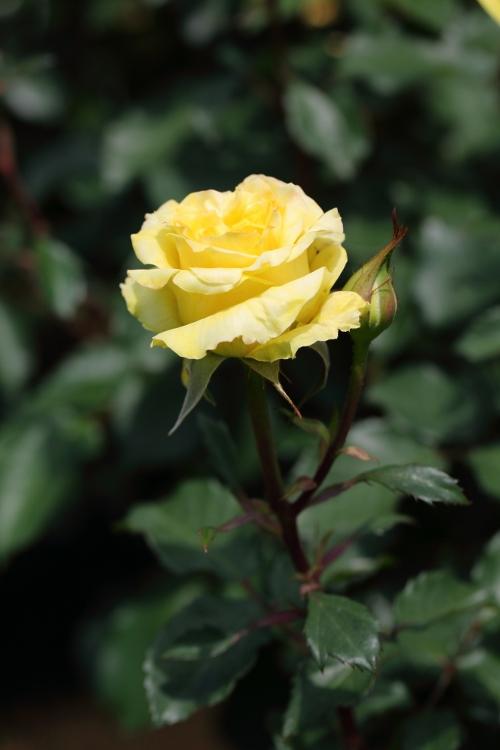 f-rose0512_0047f.jpg