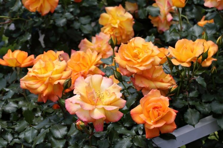 f-rose0512_0049f.jpg