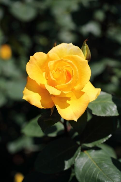 f-rose0512_0051f.jpg