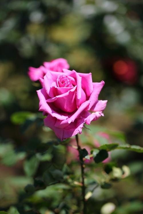 f-rose0512_0052f.jpg