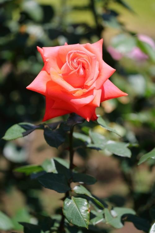 f-rose0512_0053f.jpg