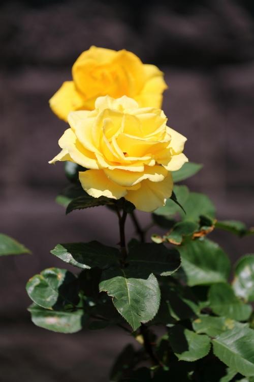 f-rose0512_0054f.jpg