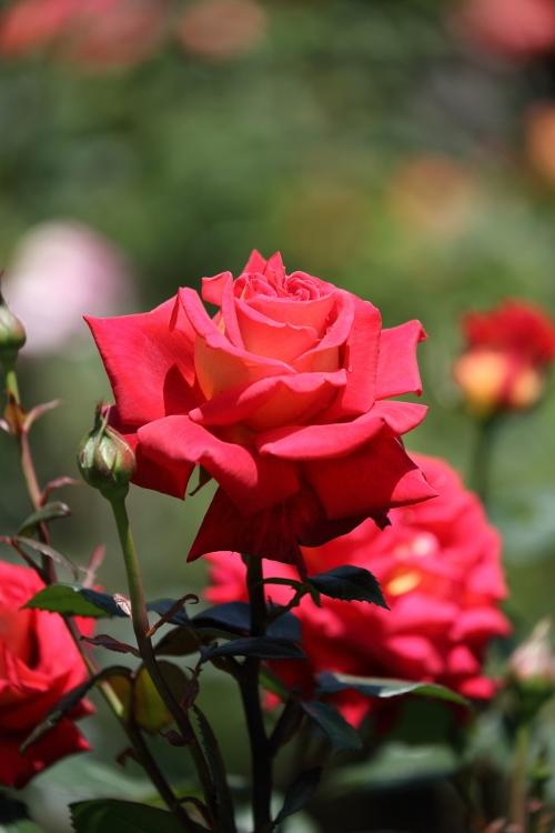 f-rose0512_0055f.jpg