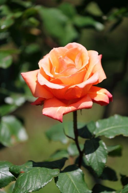 f-rose0512_0056f.jpg