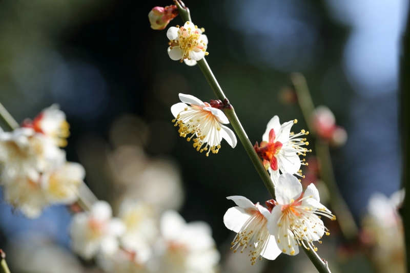 koishikawa-ume_0005f.jpg