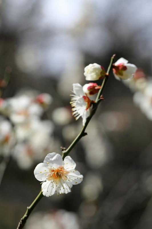 koishikawa-ume_0008f.jpg