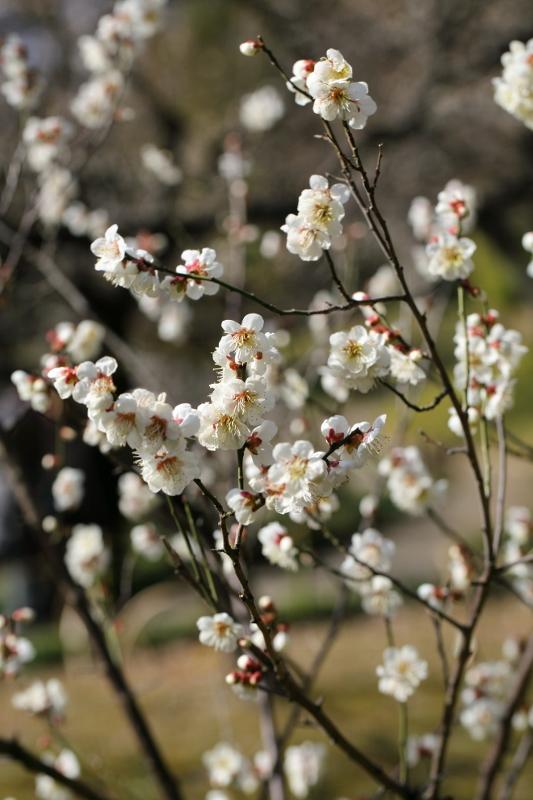 koishikawa-ume_0013f.jpg