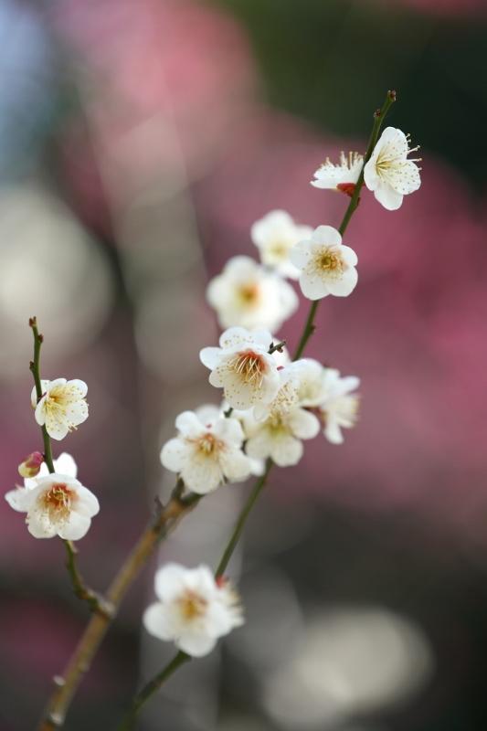 koishikawa-ume_0023f.jpg