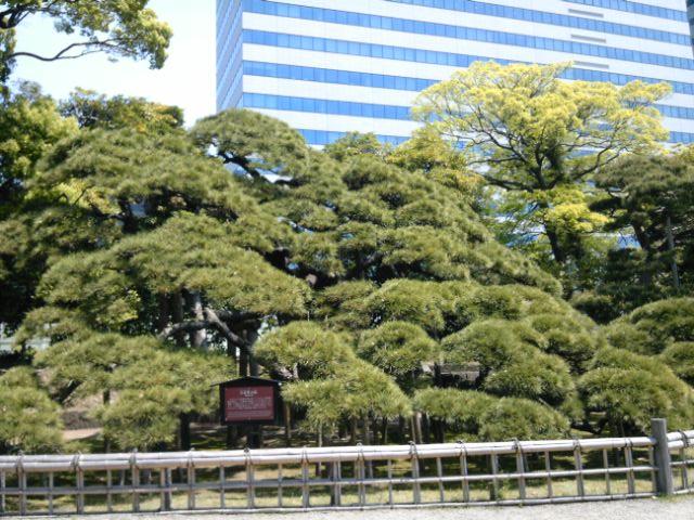 2013.5.4ー1 浜離宮恩賜庭園 300年の松