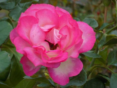 DSCN0159  バラ
