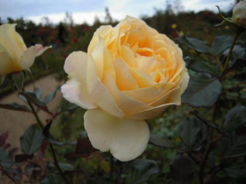 DSCN0151  バラ