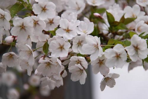 07うちの桜0001
