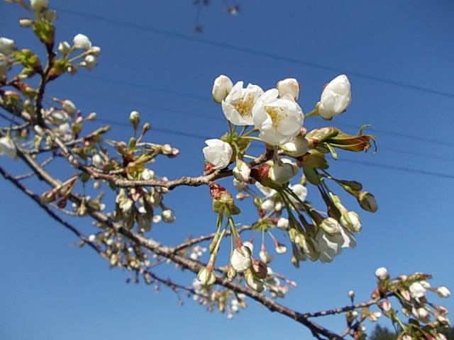 Cherry blossom 20130321