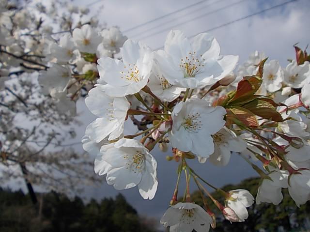 Prunus yedoensis 20130325