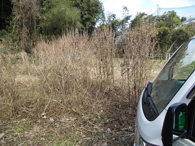 Crotalaria 20130213