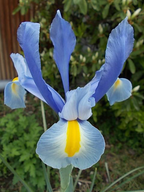 Dutch iris 20130404
