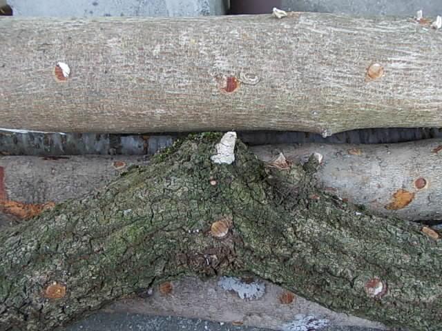 inoculated wood 20130331
