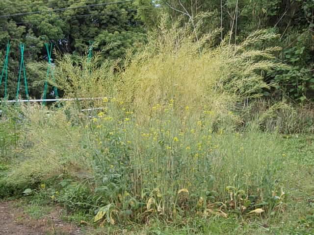 Komatsuna spinach 20130527