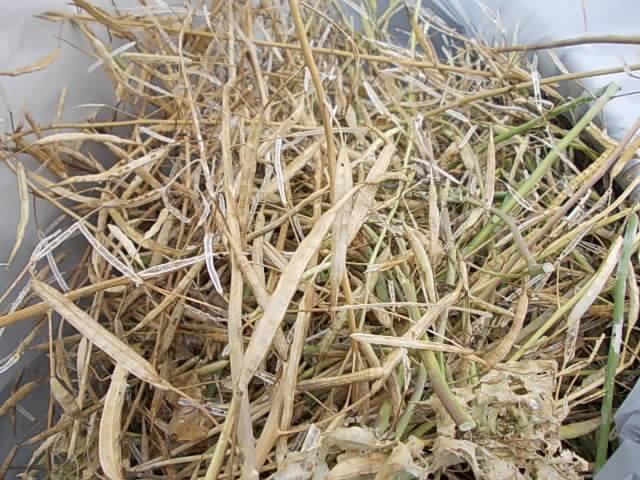 Komatsuna spinach 20130527-2