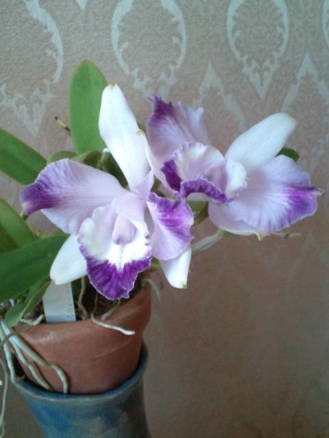 Lc. Cariad's Mini-quinee seedling 20130415