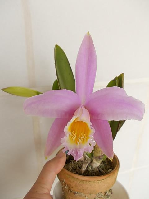 L. jongheana 'Hakushu' 20130417-2