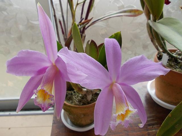 L. jongheana 'Hakushu' 20130424
