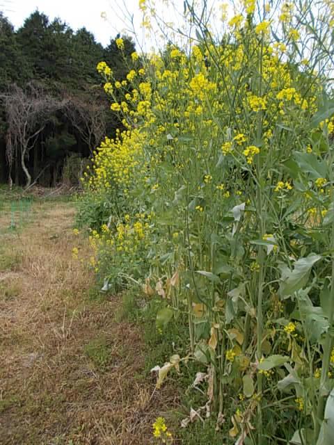 Mustard 20130423