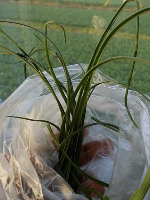 Nobiru wild spring onion 20140209