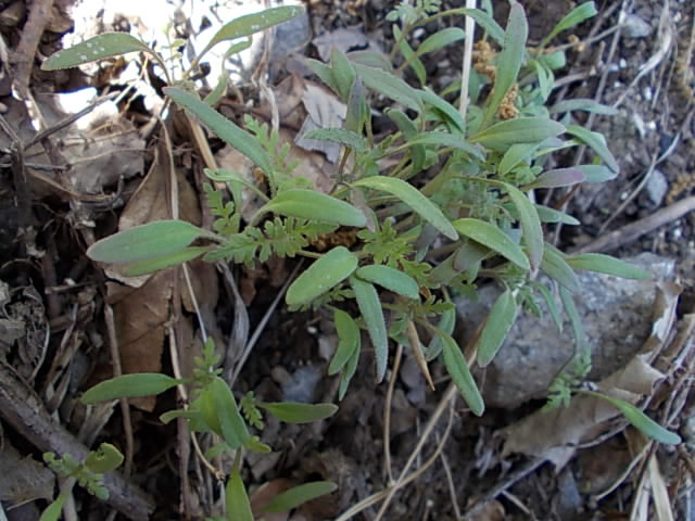 Phacelia tanacetifolia 20130501
