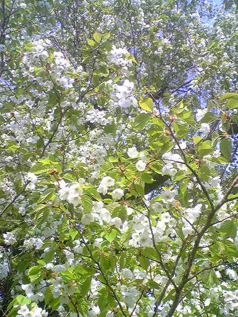 Prunus lannesiana 20130403