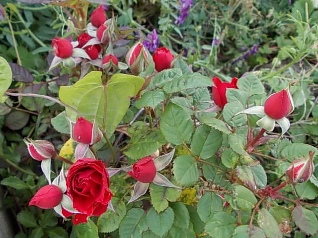 Mini rose 20130511
