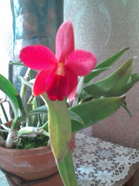 Slc. Dancing Daffodil 'Shitoro' 20130504