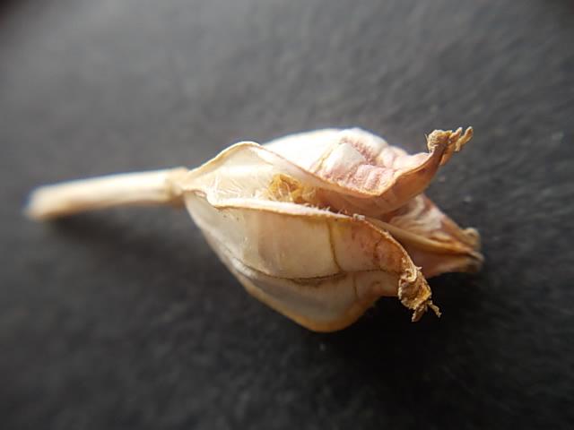Tulip clusiana 'Cynthia' 20130527
