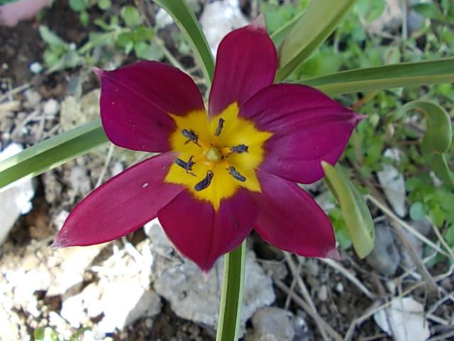 Tulip pulchra Persian Pearl 20130408