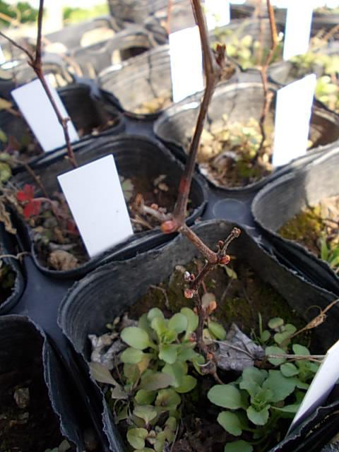 Vitis ficifolia var. sinuata seedling 20130306