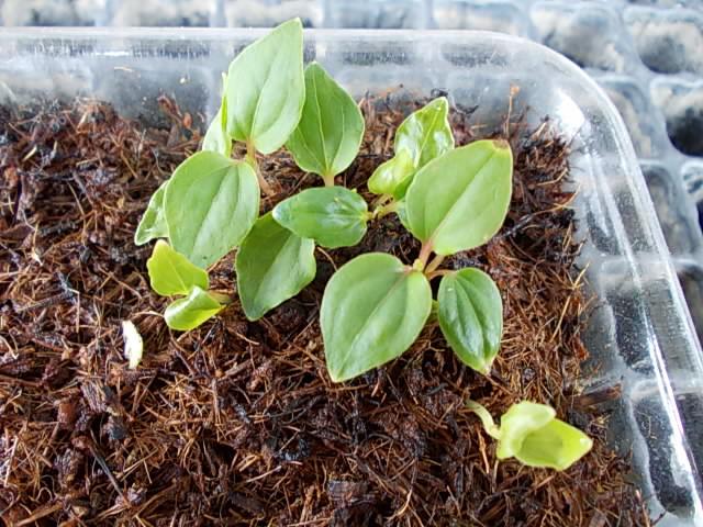 Vitis ficifolia var. sinuata 20130519-2