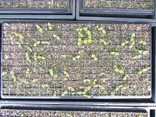 Vitis ficifolia var. sinuata 20130523