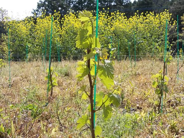 Vineyard 20130421