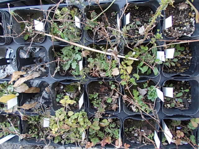 Wild grapevines 20130222