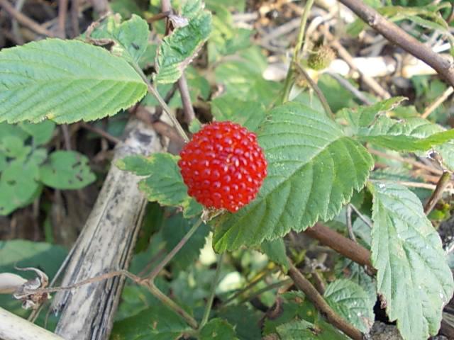 Wild berry 20130512