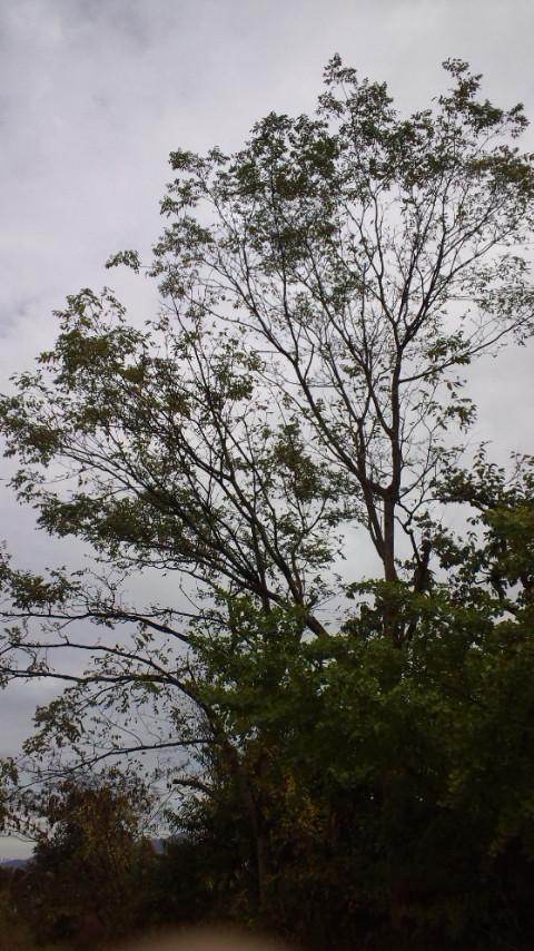 キハダの木