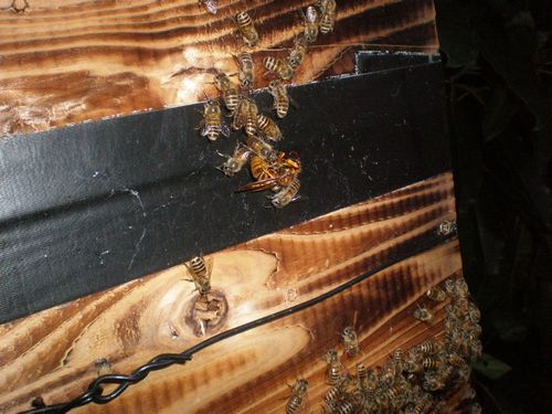 キイロスズメバチ熱殺