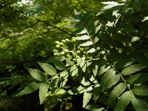 木に実る山椒の実