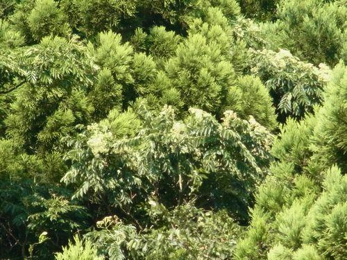 山のカラスザンショウの木?です