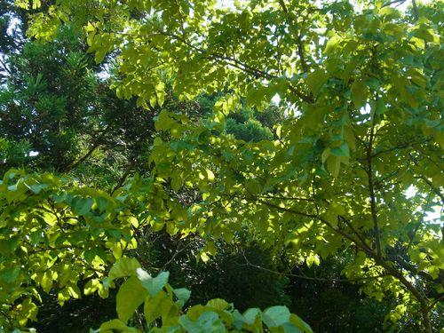 キハダの木と葉